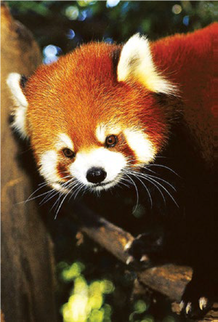 Red Panda: Amongst the star species, unique to Himalayan ecosystem. JICA supports conservation activities of such species.
