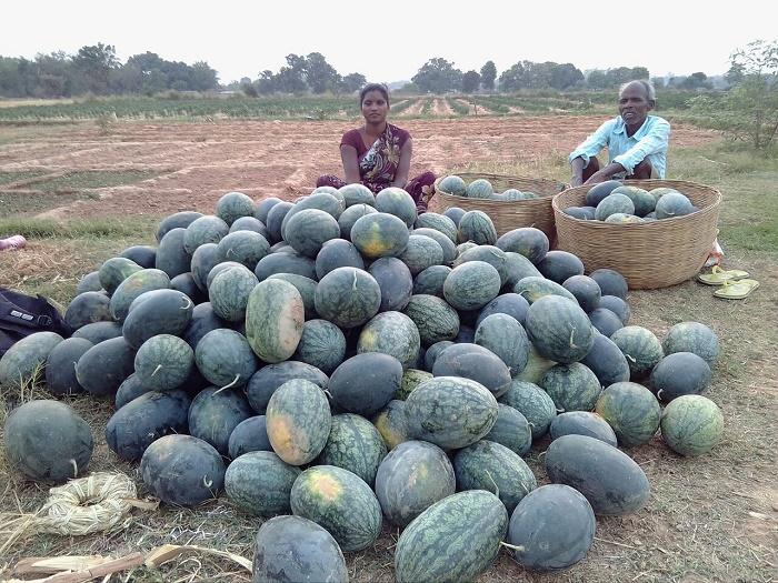 Watermelon Harvesting